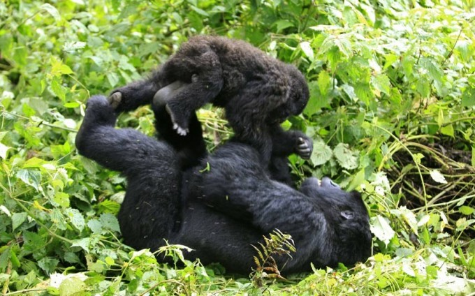 The Virunga Mountain Gorillas Of Rwanda