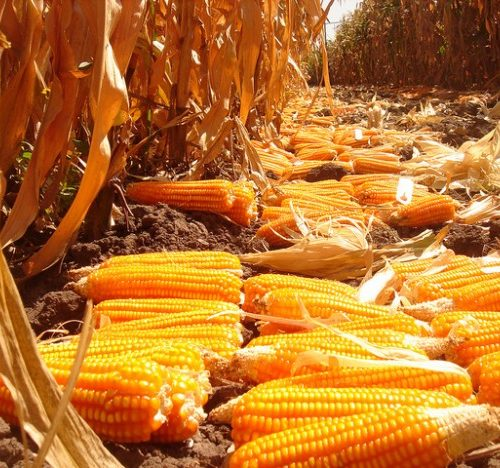 Advocating For The Consumption Of Orange Maize
